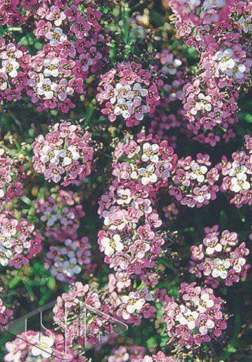 Sementes de Alyssum Violet - Isla Multi