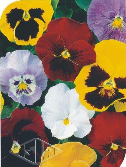 Sementes de Amor Perfeito Gigante Suíço cores sortidas - Isla Multi