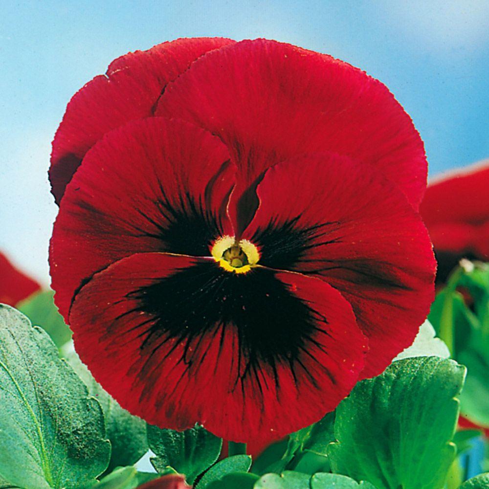 Sementes de Amor Perfeito Gigante Vermelho 120mg - TSV Sementes Linha Jardim