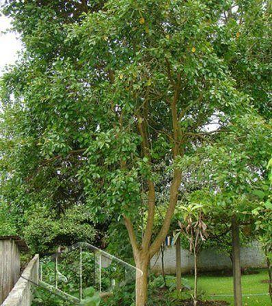 Sementes de Araçá Amarelo 150mg - Isla Árvores Nativas