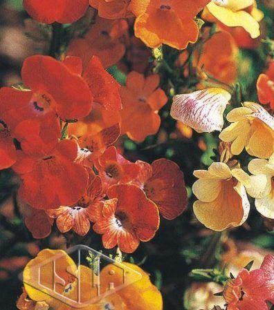 Sementes de Arlequim Nemesia Strumosa Sortida Isla Multi 100mg