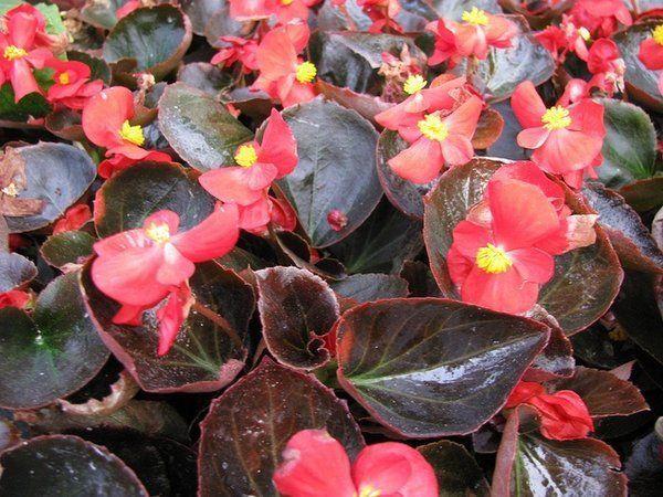 Sementes de Begônia Semperflorens F2 - Isla Superpak