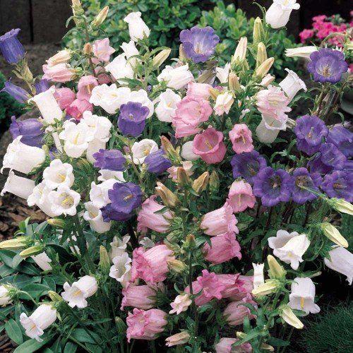 Sementes de Campânula Canterbury Sortida 200mg - Topseed Linha Tradicional Flores