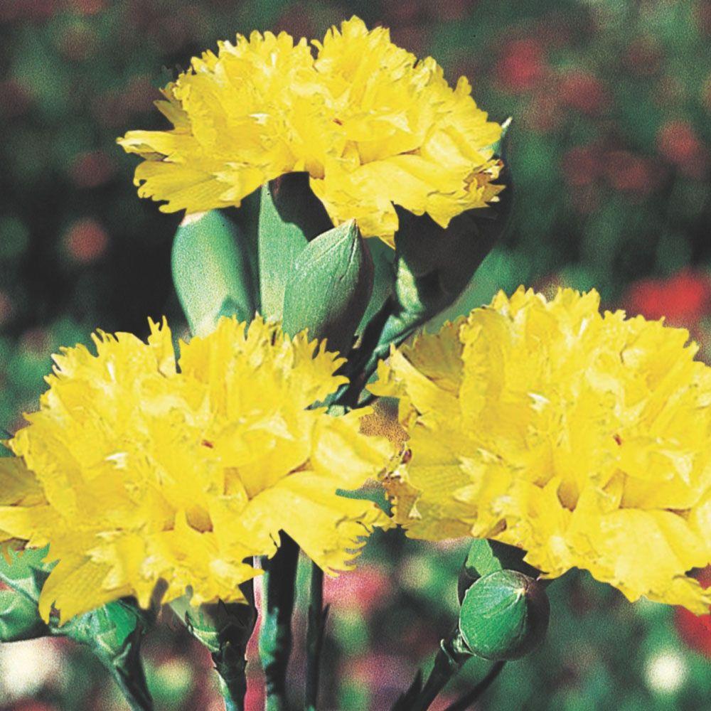 Sementes de Cravo Amarelo 170mg - TSV Sementes Linha Jardim