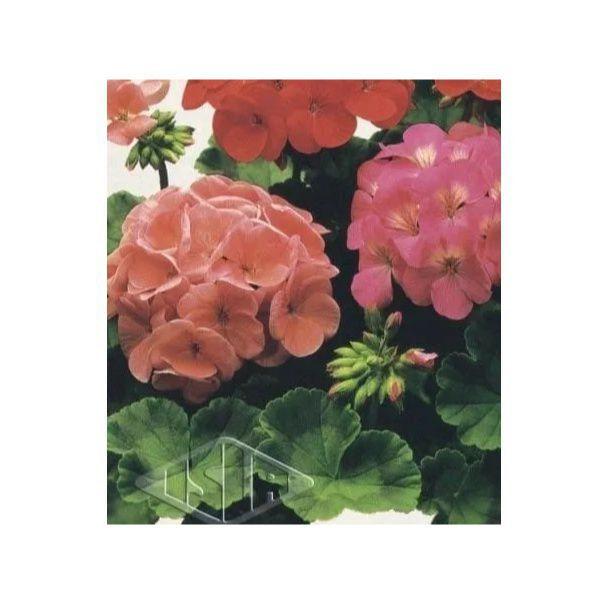 Sementes de Gerânio Pelargonium Sortido Importadas Envelope com 1g - Isla Pro