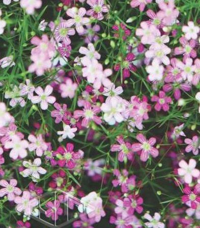 Sementes de Gypsophila Elegans Mosquitinho Sortido 300mg - Isla Multi