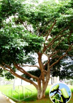 Sementes de Jatobá - Isla Pro