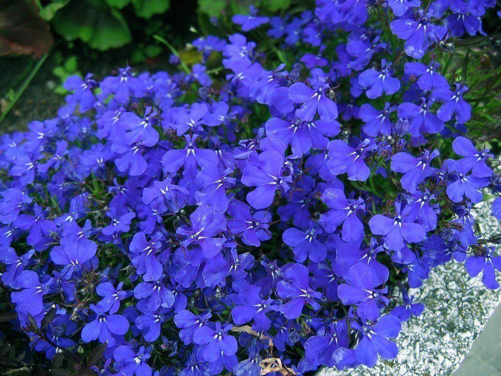 Sementes de Lobelia Azul Erinus - Isla Multi