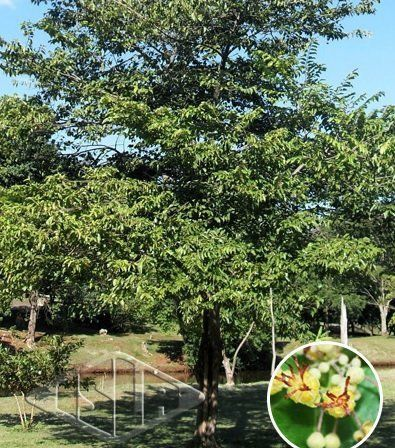 Sementes de Mutambo Mutamba Verdadeira 400mg - Isla Árvores Nativas