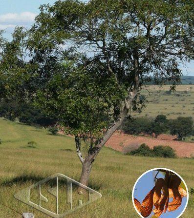 Sementes de Pau Amendoim Pterogyne nitens 2g - Isla Árvores Nativas