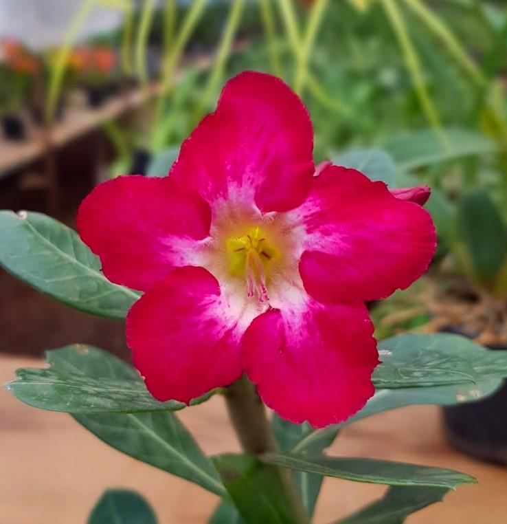 Sementes de Rosa do Deserto Cores Simples e Sortidas pacote com 10 sementes