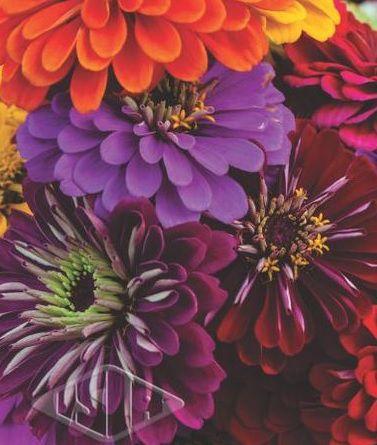 Sementes de Zinnia Dobrada Dahliaflora Sortida 300mg - Isla Multi