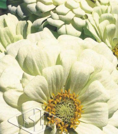 Sementes de Zinnia Gigante da Califórnia Branca 300mg - Isla Multi