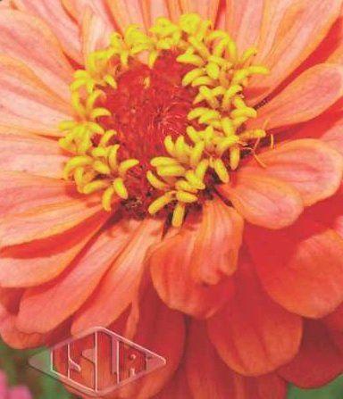 Sementes de Zinnia Gigante da Califórnia Salmão - Isla Multi
