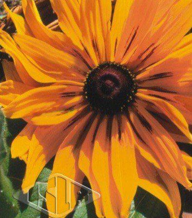Sementes de Rudbeckia Amarela Hirta Dobrada Sortida 100mg - Isla Multi