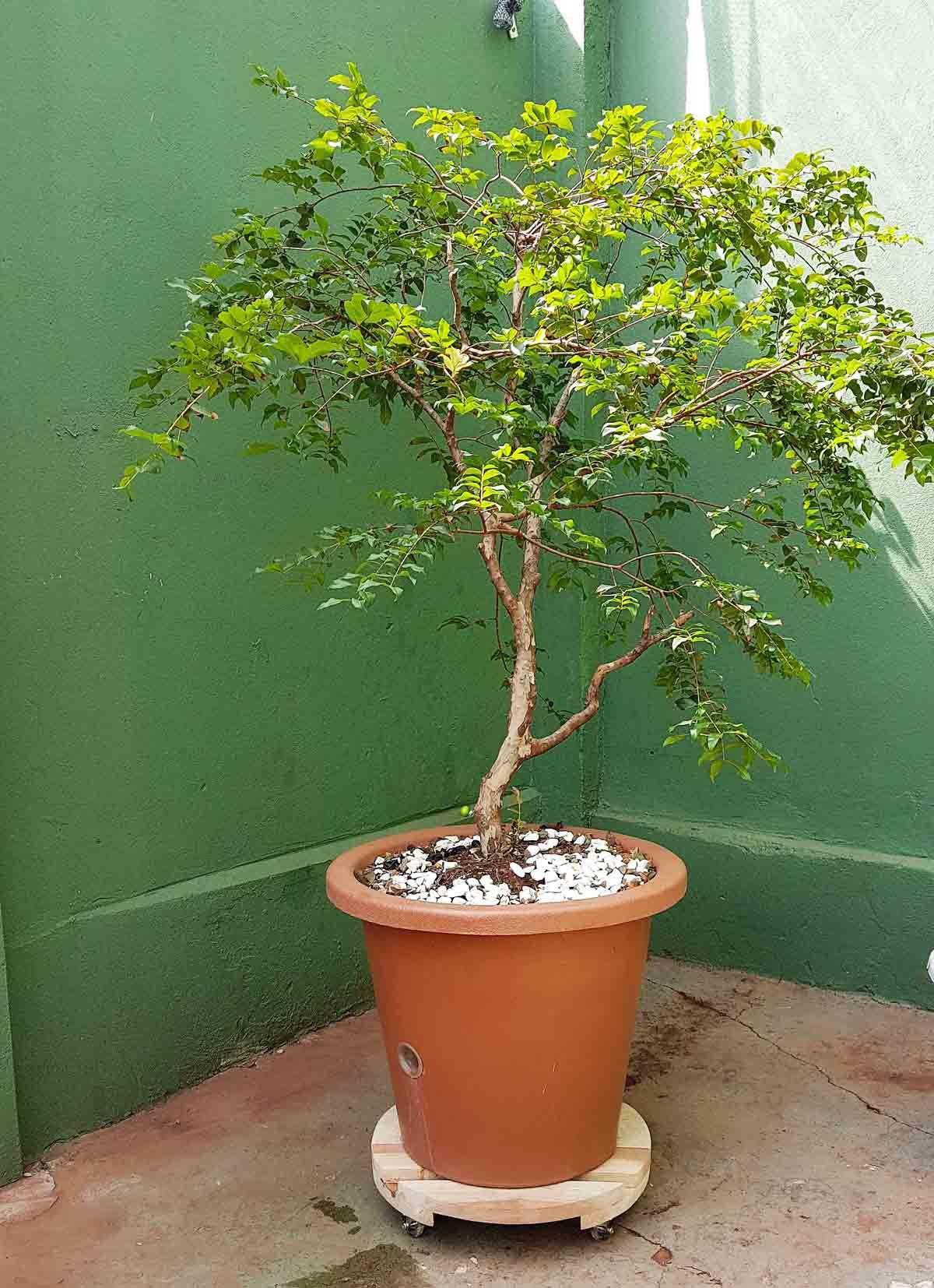 Suporte para Vasos de Plantas Cedrilho com rodízios anti risco Redondo 40cm suporta até 160kg