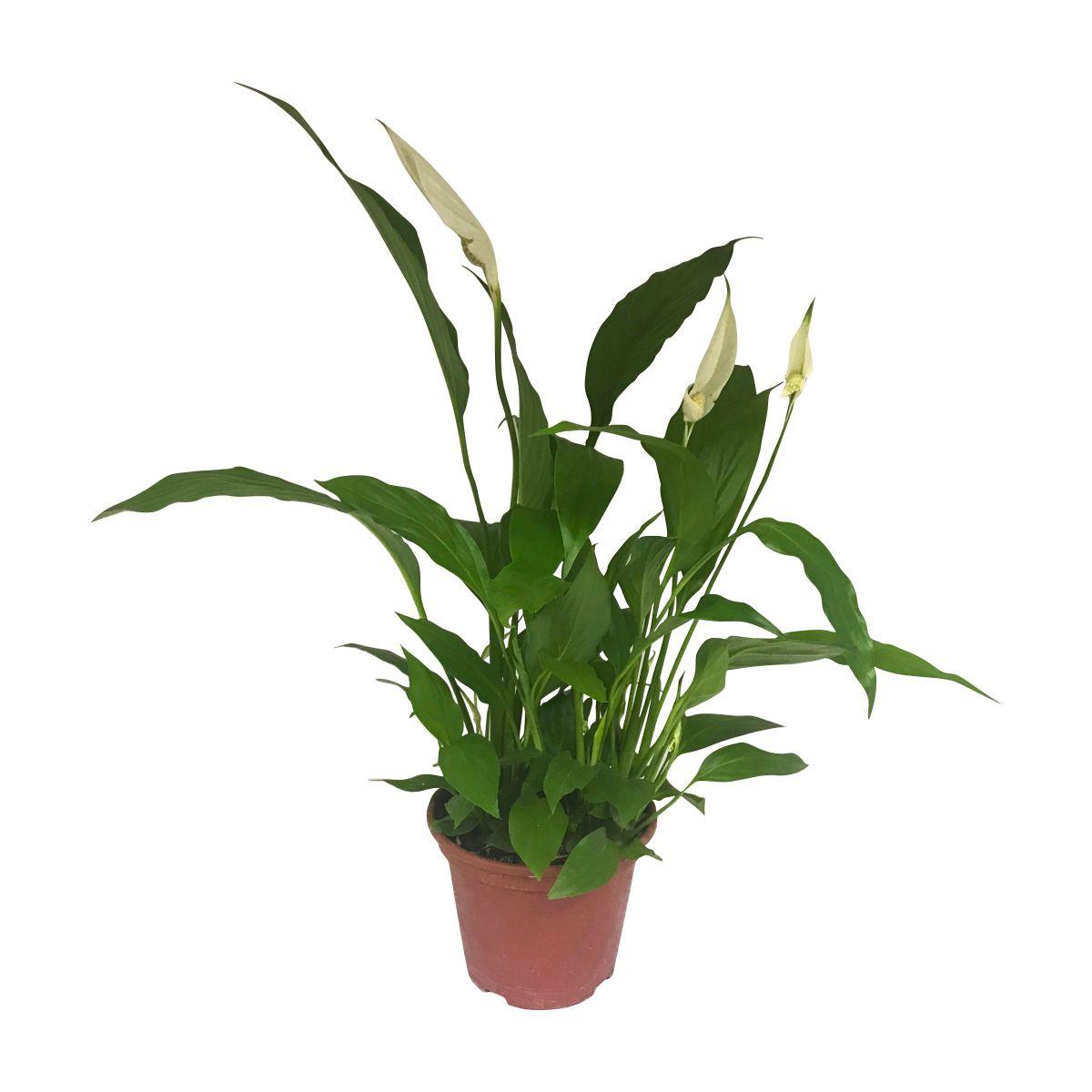 Vaso de Lírio da Paz (Spathiphyllum) pote 15
