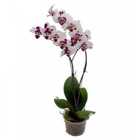 Vaso para Orquídeas nº 12 Ke Incolor Tratado 11cm x 11,5cm