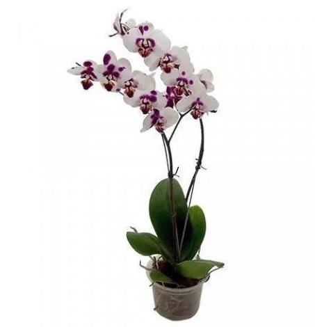 Vaso para Plantas 154 Incolor Tratado 11cm x 14,5cm