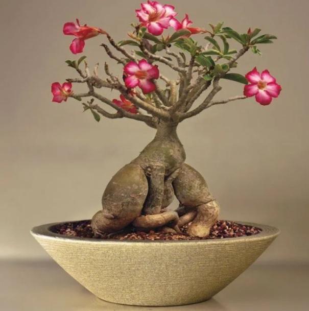 Vaso para Rosa do Deserto Grafiato Concha 18 cor Areia