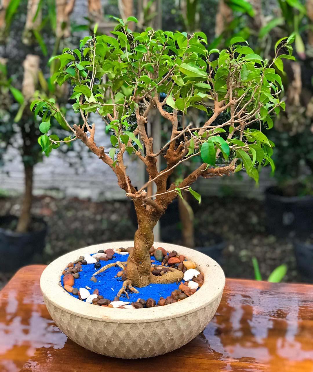 Vaso para Rosa do Deserto Infinity Concha 13 cm x 35 cm Areia