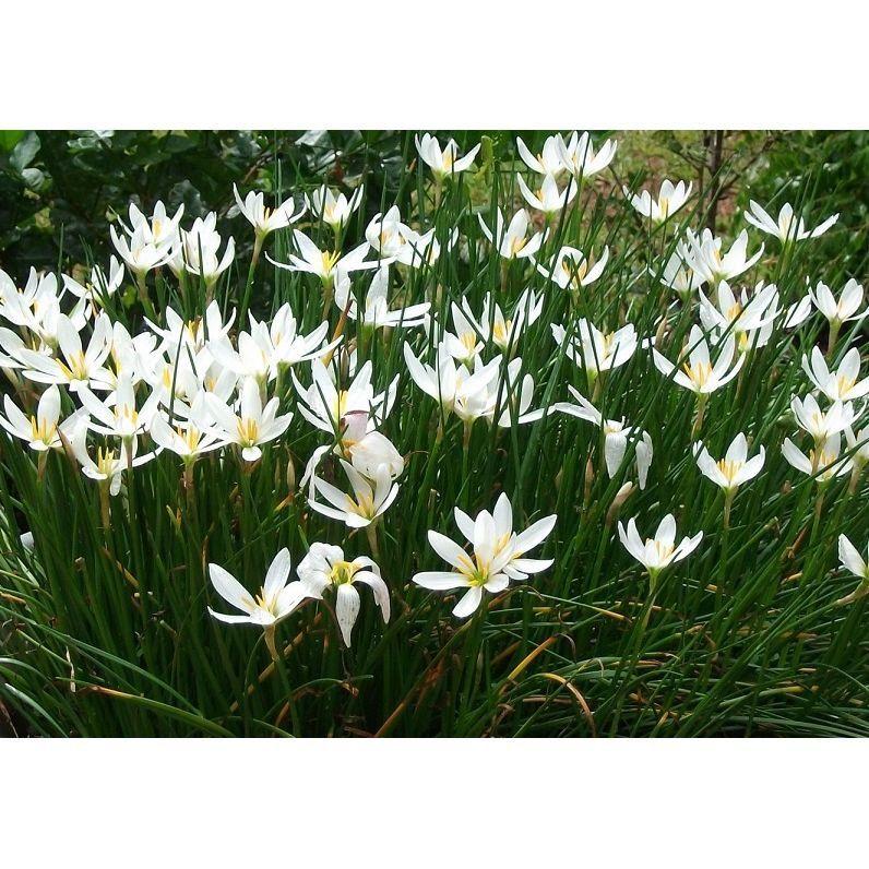 Zephyranthes Cândida Branco - cartela com 8 bulbos