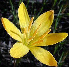 Zephyranthus Citrina Amarelo (Lírio do Vento) - cartela com 8 bulbos