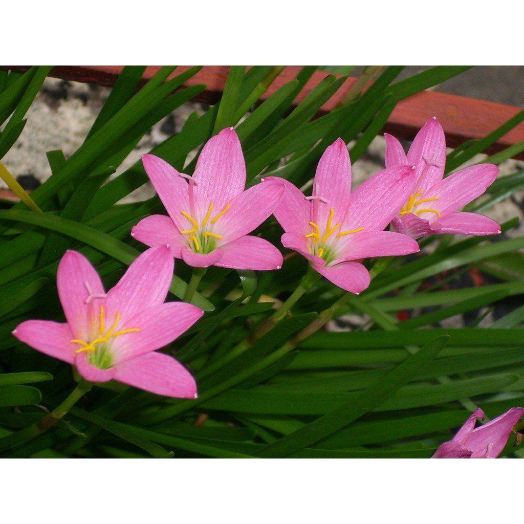 Zephyranthus Robustus Rosa (Lírio do Vento) - cartela com 8 bulbos
