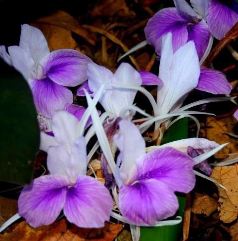 Zingiberaceae Kaempferia Branco e Lilás - Cartela com 2 rizomas