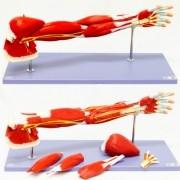 Braço musculado em 7 partes