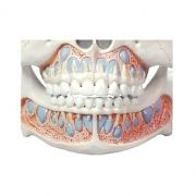 Modelo Anatômico de Dentição Infantil - Loja Civiam