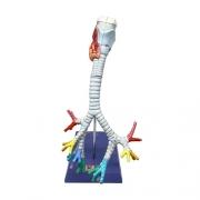 Modelo de laringe, traqueia e árvore brônquica, tamanho natural e 2 partes