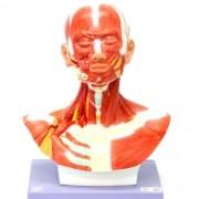 Musculatura da cabeça e pescoço