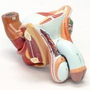 Órgão genital masculino em 4 partes