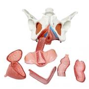 Pelve feminina com músculo pélvico, órgãos, nervos e vasos sanguíneos em 8 partes