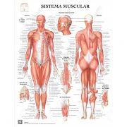 Poster Sistema muscular - Loja Civiam