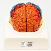 Regiões cerebrais em 2 partes