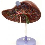 Sessão do fígado com vesícula biliar