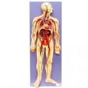 Sistema circulatório em 2 partes - Loja Civiam