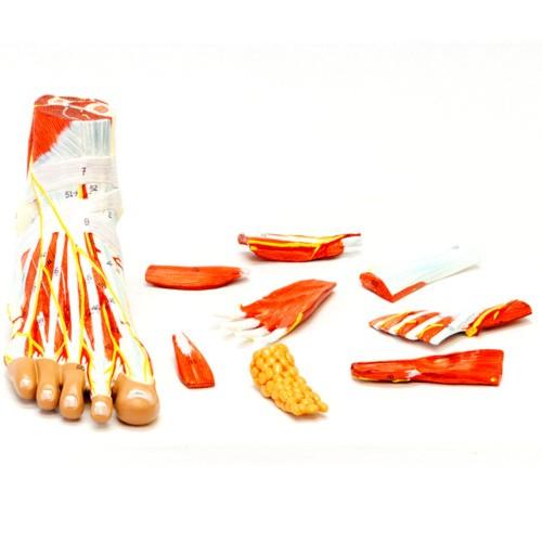 Anatomia completa do pé em 9 partes