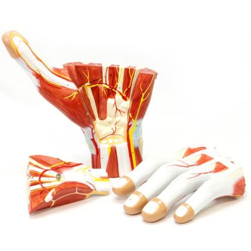 Anatomia da mão em 3 partes