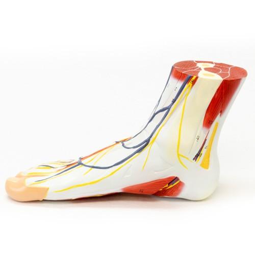 Anatomia regional do pé em 3 partes