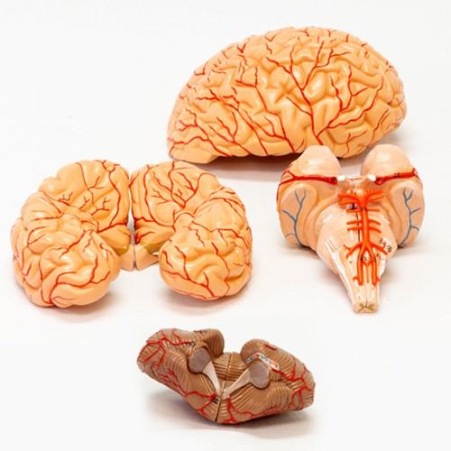 Cérebro avançado com artérias em 9 partes
