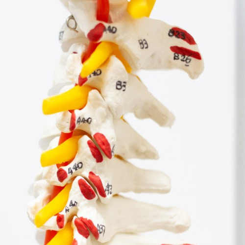 Coluna vertebral com osso do fêmur e inserção muscular pintada