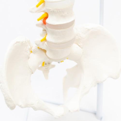 Coluna vertebral flexível em tamanho natural