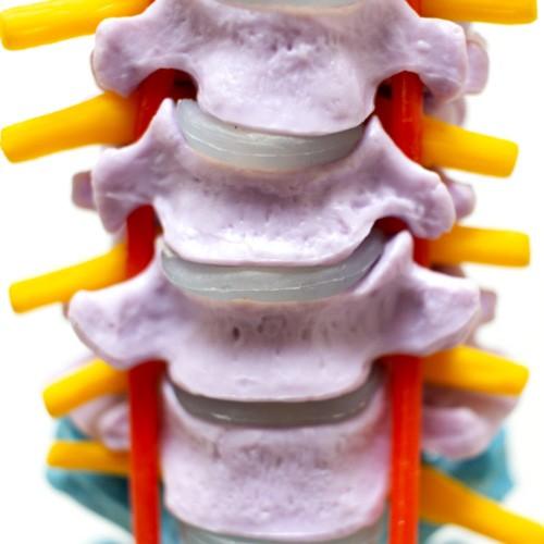 Coluna vertebral pintada super flexível com fêmur
