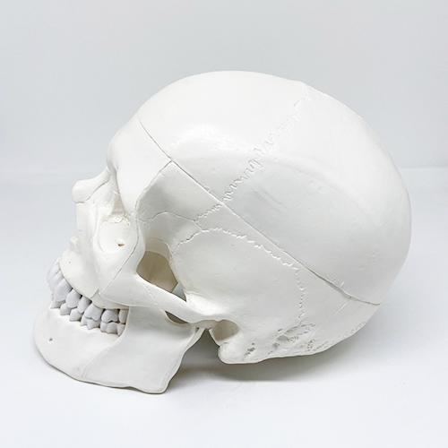 Crânio com dura máter e sinus em 4 partes