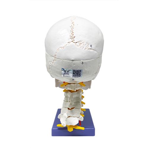 Crânio com sutura, cérebro e vértebra cervical, tamanho natural