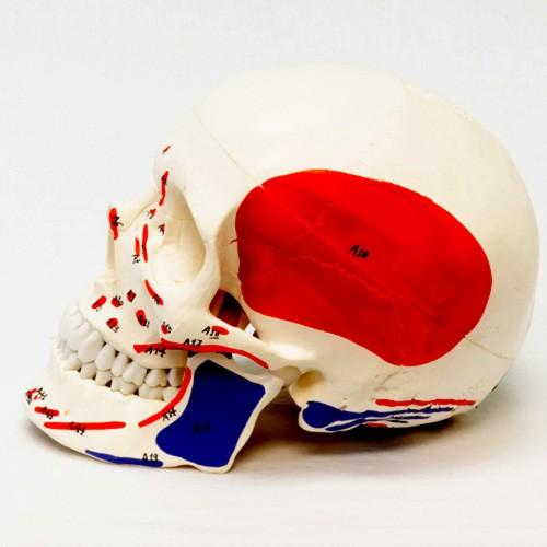 Crânio em 3 partes com inserção muscular