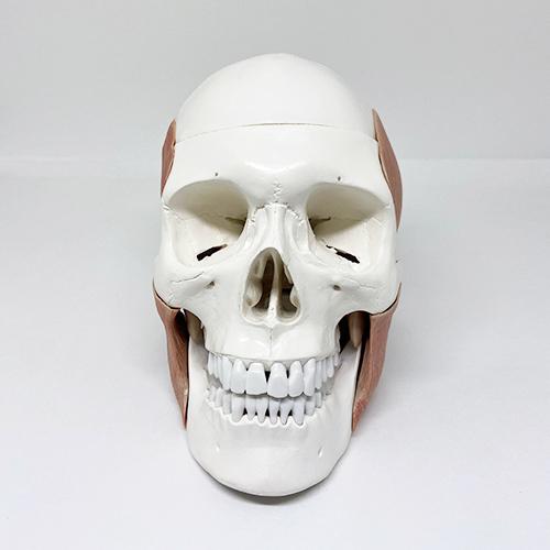 Crânio humano com músculos mastigatórios em 11 partes
